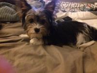 I have a Male Parti Yorkie that is about 5 months old.