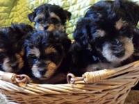 We have 1 boy Yorkie poo toy size. He will be ready for