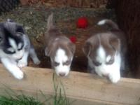 8 charming adorable purebred husky young puppies in