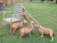 All females 5Xremy an paco bloodline UKC purple ribbon