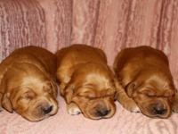 6 BEAUTIFUL purebred Golden Retriever puppies born on