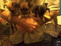 I have 6 chihuahua rat terrier puppies. 4 girls and 2