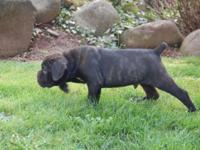 For sale: 6 purebred Cane Corso Italiano Mastiff