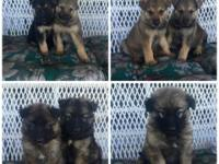 6 Gorgeous German Shepherd puppies for sale out of the