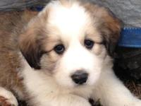 I have 6 Great Pyrenees young puppies prepared to