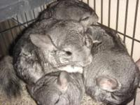 Up for sale are 6 chinchillas. You may purchase any