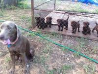 We have 6 male chocolate/silver lab puppies that
