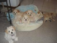 6 CREAM MULTIPOO PUPPY'S FOR SALE. 3 BOYS AND 3 GIRLS.