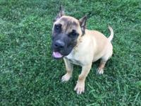 I have a fawn 6 month old pressa canario. I bought from