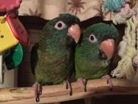 Hi, I have two 6-Month Old Handfed Blue-Crown Conures,