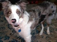 Blue Merle FEMALE Border Collie 6-months old