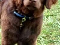 6 month old female, chocolate lab puppy. She is a great