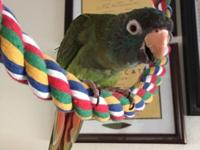 Hi Everyone, I have a Blue-Crown Conure Female 6-months