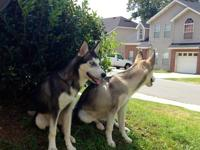 I am selling two full bread Siberian Huskies. They have