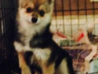 6 month old gorgeous pomchi 3/4 pomeranian 1/4