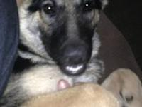 I have a beautiful 6 mo old female German shephard for