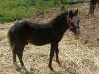6 month old minature Appy gelding. He's a cute little