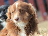 I have a 6 month old male Miniature Australian Shepherd