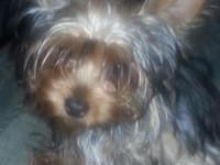 I have a 6 month old Teacup female Yorkie. she is