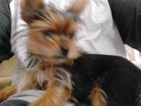 6 month old yorkie for sale. He may weight 3 lbs at the
