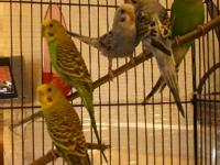 6 young parakeets in cage varied color and sexes (total