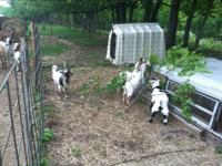 I have 6 Pygmy goats for sale. I am asking $400 for all