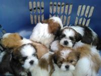 Come see my six adorable Shih-tzu puppies. Taking