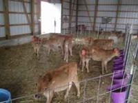 I Have (6) 12 week old weaned Jersey Bull Calves ready
