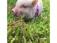 Micro mini pig for sale! 6 weeks old and only 2 pounds.
