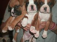 We have 6 adorable male AKC Boxer puppies that will be