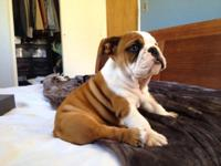 AKC registered male English bull dog puppy of 3 and