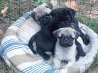 We simply had a liter of pug puppies born on April 30.