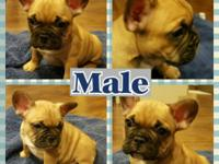 This beautiful male french bulldog puppy will be ready