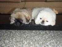 Description 6 week old purebred Pekingese puppies for