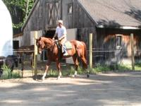 16.2 hand chestnut thoroughbred. He is very sweet and