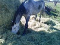 6 yr old Apendix Quarter horse mare forsale. Foxy is a