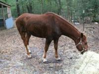6 year old mare. Good for roping, herding cattle, &