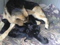 German shepard puppies for sale born on 10/7/15 i have