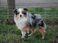 Jack is a 6lb teacup Aussie with a stunning