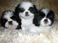 I am currently selling/adopting out my male shihtzu.