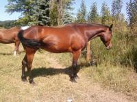 7-8 year old bay mare. 15.2-16 hands high. Was broke to