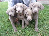 We have 7 silver labs puppies ready for homes. 4