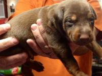 I have 7 stunning 1/2 euro Doberman puppies they will
