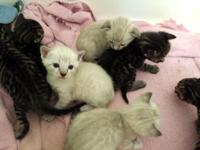 7 Beautiful Bengal kittens for sale to good caring