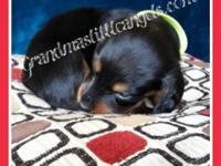 We have 2 Black and Tan Long Hair Males, 2 Black and