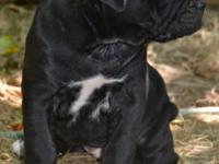 For sale: 7 purebred Cane Corso Italiano Mastiff young