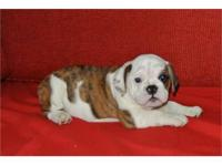 7 English Bulldog puppies ready for a loving home. They