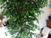 Very nice 7 foot silk ficus tree. Compare on ebay at