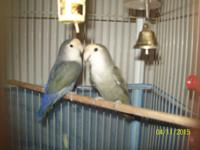 I have 7 lovebirds with their cages all for $200!