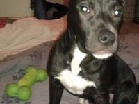I have a 7 month old Black with white markings pitbull